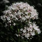 Zdravilne rastline -BALDRIJAN