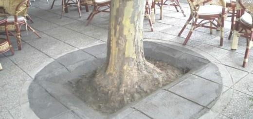 Slika 2: Primer zapečatenosti tal na območju korenin javorolistne platane na Rudarski cesti v Velenju