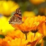 Ognjič – okrasna rastlina z zdravilnimi lastnostmi