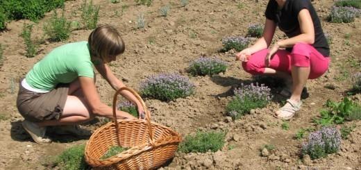 Irena in Lara skrbita za zeliščni vrt in oglede.