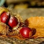 Darovi jeseni – pravi (domači) kostanj