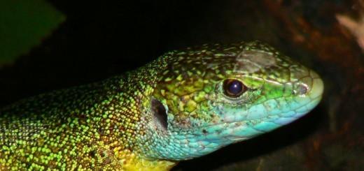 portret zelenca - samec v paritvenih barvah