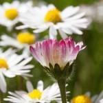 Marjetica, zdravilna travniška lepotica