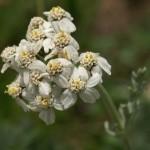 Pelin – nepogrešljiva zdravilna rastlina