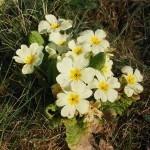 Trobentica, zdravilna znanilka pomladi