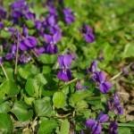 Vijolica – drobna lepotička, ki diši po zdravju.