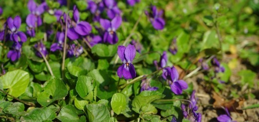 vijolica-drobna-lepoticka-ki-disi-po-zdravju
