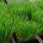 Žitne trave – zelene in zdrave