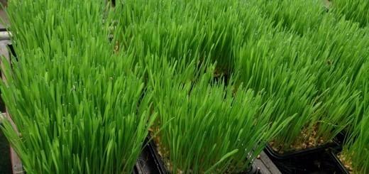 Žitne trave