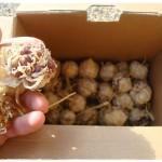 Vzgoja domače sorte česna iz semenskih čebulic izboljša njegovo odpornost in donos
