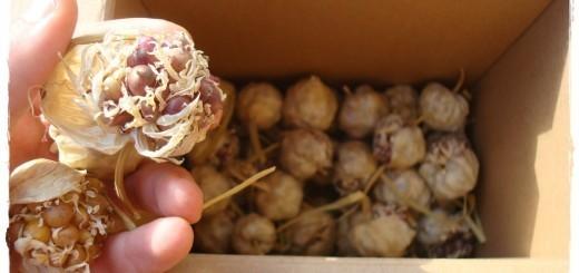 Semenske čebulice česna iz domačega vrta