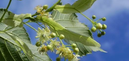 lipovo cvetje
