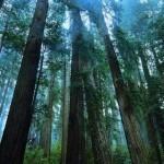 Sibirska cedra oživlja in pomlajuje