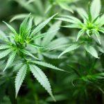 Cannabis – zdravilo modernega časa