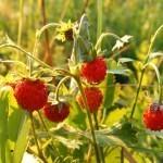 Gozdna jagoda – drobcena zdravilka