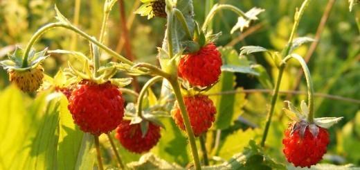 gozdna-jagoda-drobcena-zdravljivka-1