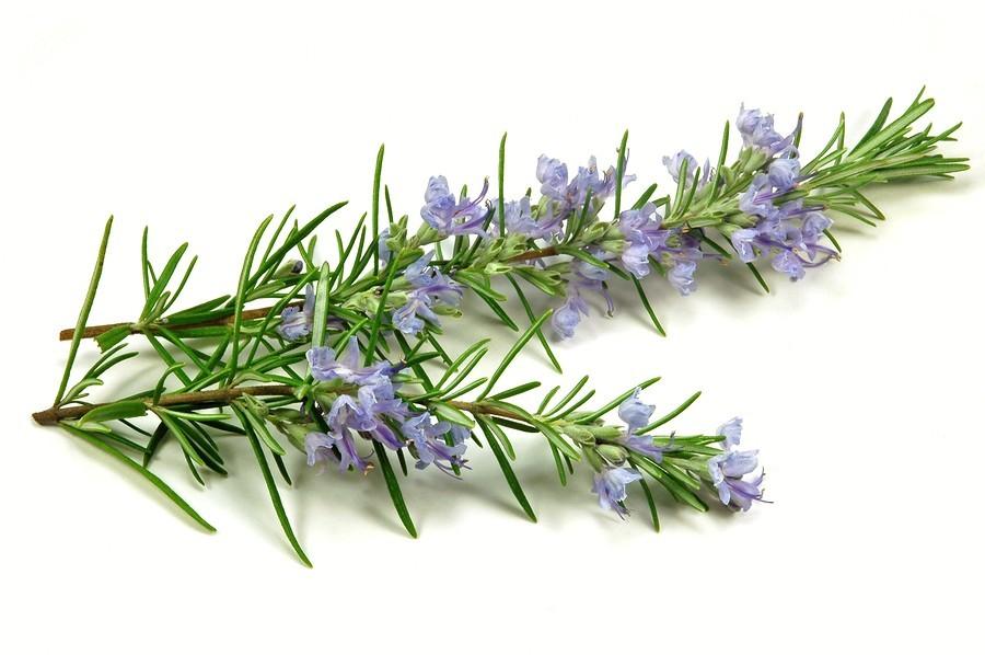Rožmarin - zdravilna začimba z vonjem za spomin - mojpogled.com