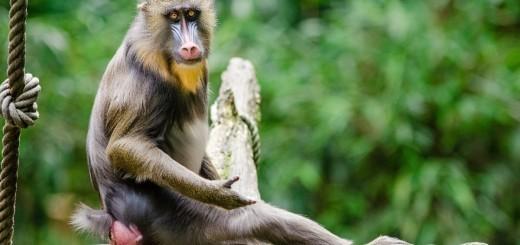 Ali si ''Opica'' po kitajskem horoskopu? Leto 2016 – leto Opice