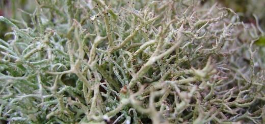 Islandski lišaj - odličen za lajšanje kašlja