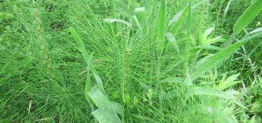 Njivska preslica - prazgodovinska rastlina z dragocenimi zdravilnimi lastnostmi