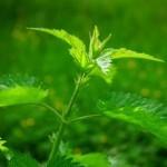 Velika kopriva – pekoča, a neverjetno zdravilna rastlina