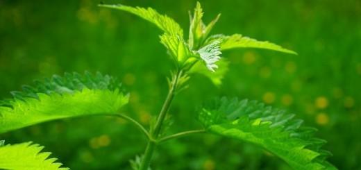 Velika kopriva - pekoča, a neverjetno zdravilna rastlina