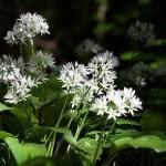 Čemaž – pomladni čudež