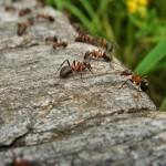 Kako na naraven način pregnati mravlje na vrtu?
