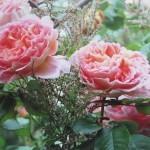 Pomlad – čas za sajenje vrtnic