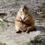 Prerijski pes – talna veverica