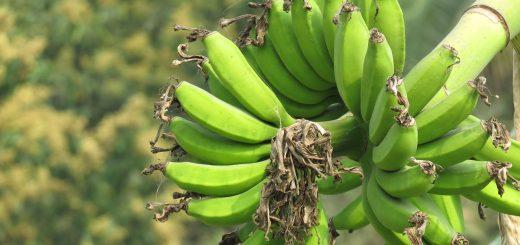 7 razlogov ZAKAJ vključiti zeleno bananino moko v svoj jedilnik
