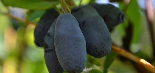 Sibirska borovnica ali majska jagoda